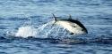 Pêche-sous-marine-Pêche au thon